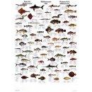 w33046-wandtafel-mittelmeerfische